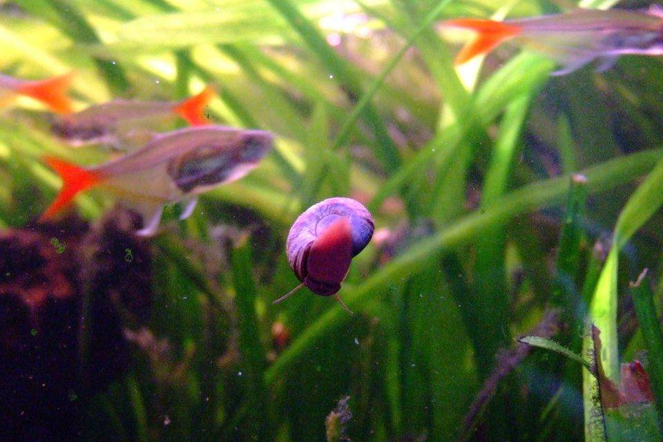 Can ramshorn snails reproduce asexually