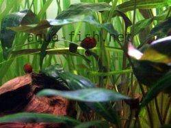 Ramshorn snails picture