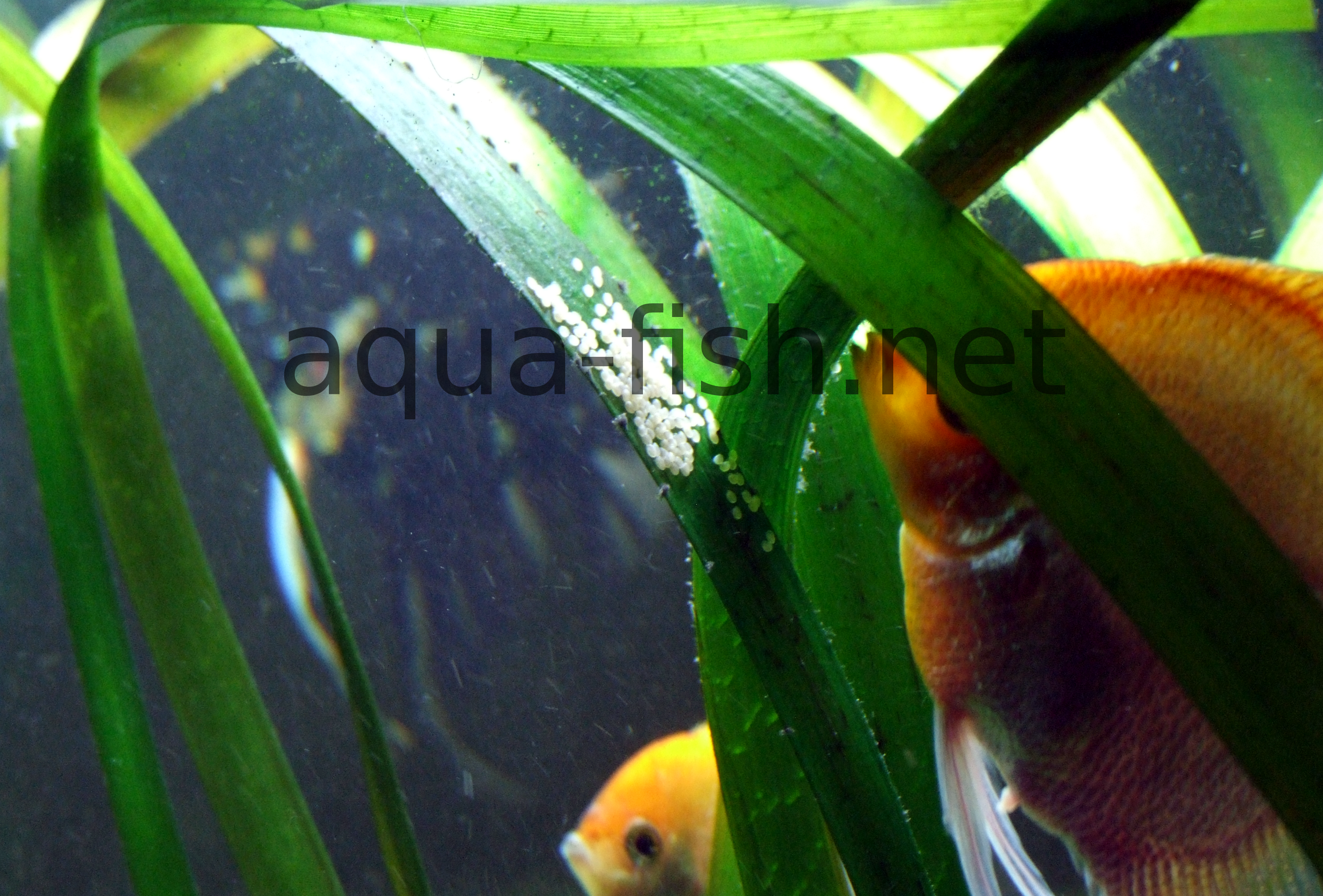 Freshwater aquarium fish easy to breed - Angelfish Laying Eggs