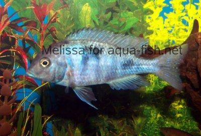 Blue Dolphin Cichlid, picture 1