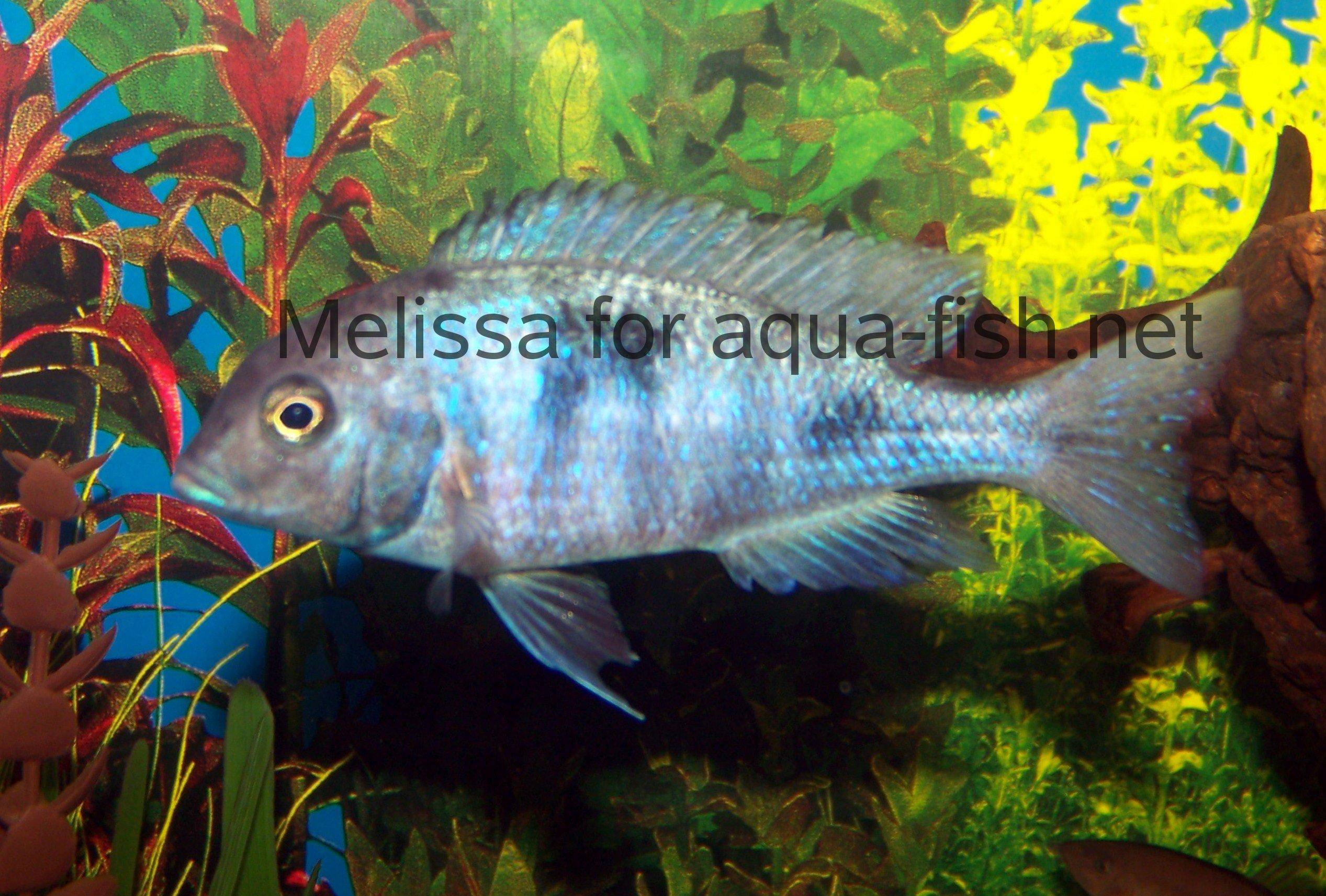 Discussion and guide on keping Blue dolphin cichlids in fish tanks