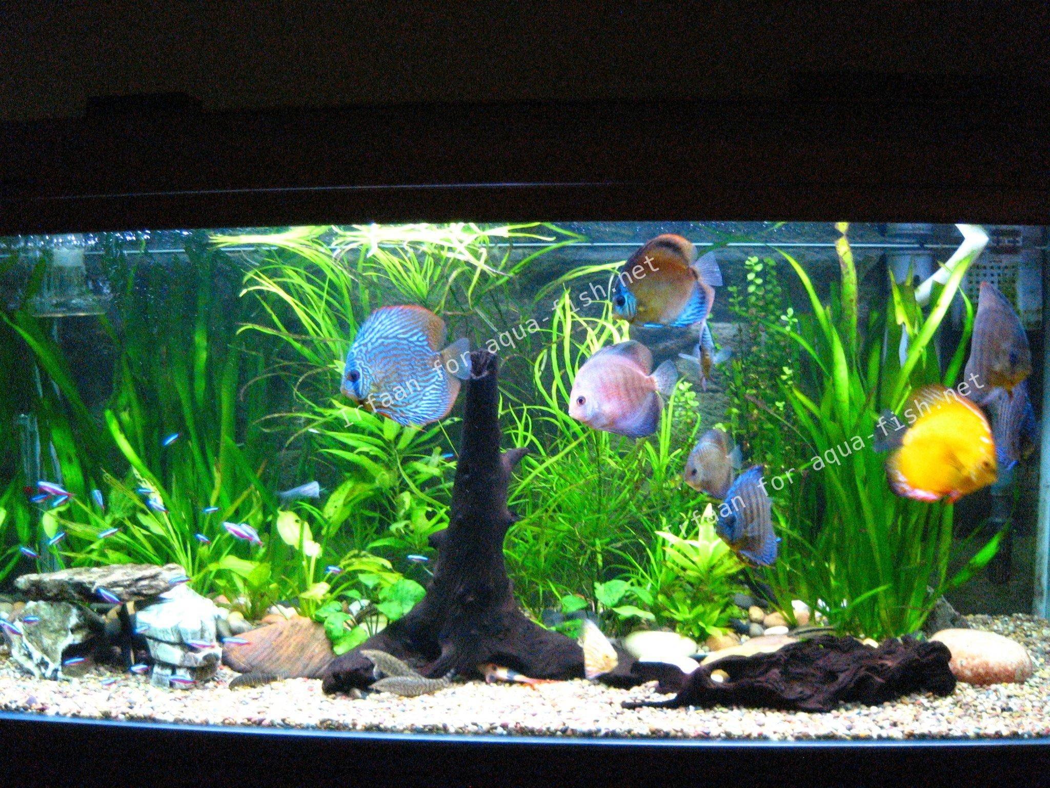 Betta tank filter system betta free engine image for for Diskus aquarium