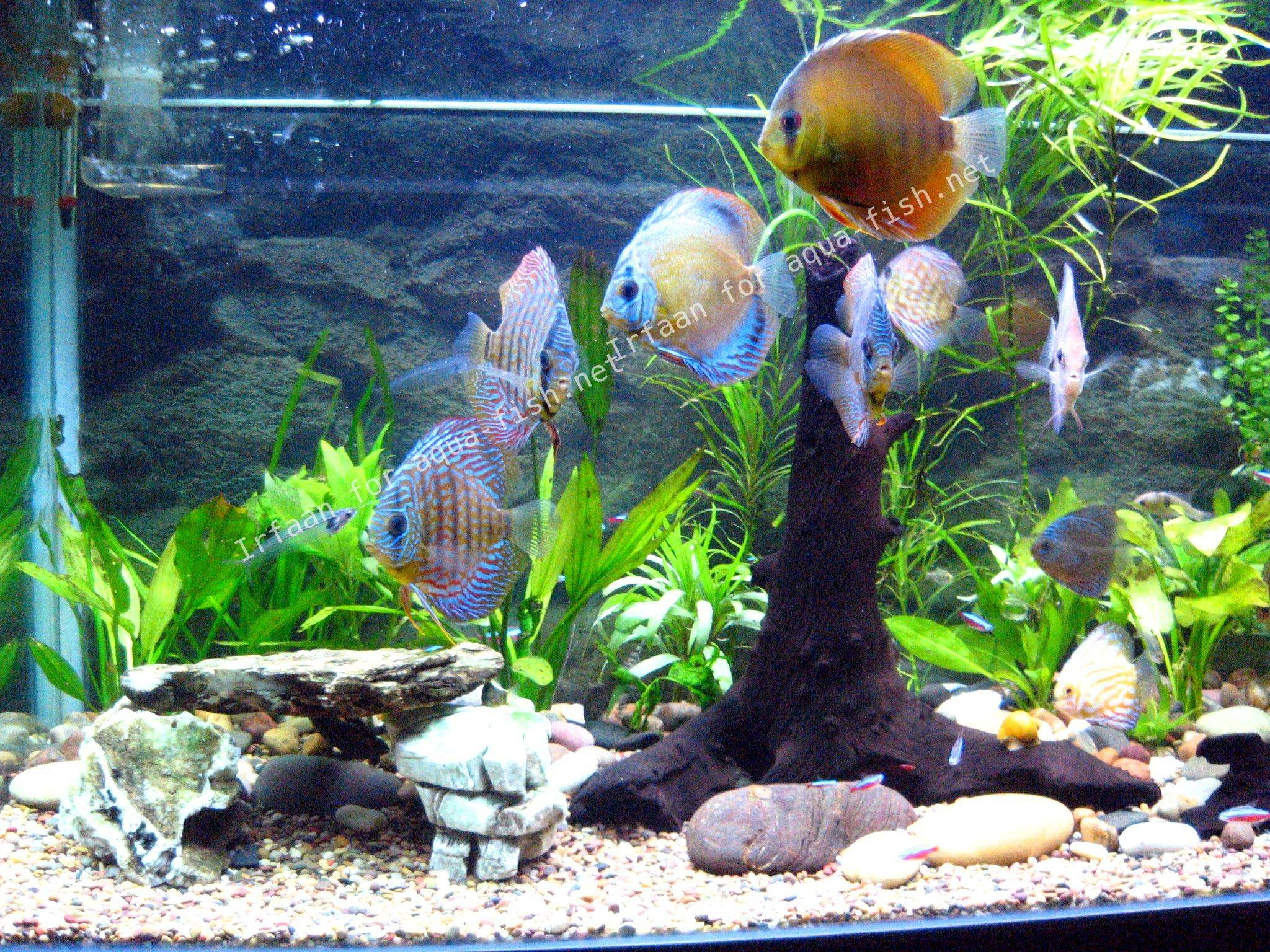 An ultimate guide on raising discus focusing on breeding for Keeping discus fish