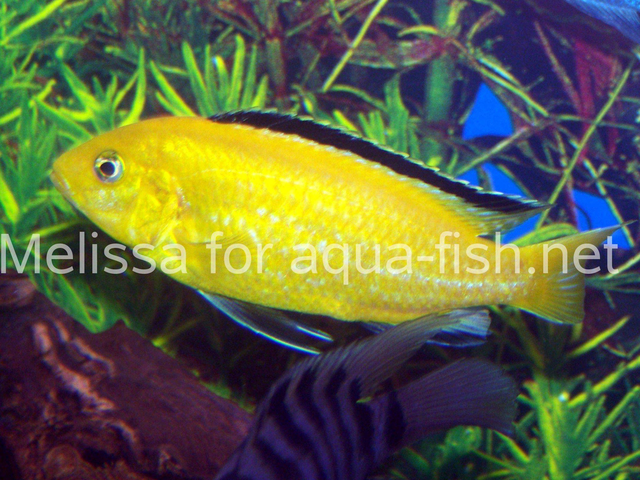 Fish aquarium guide - Electric Yellow Lab Picture 2