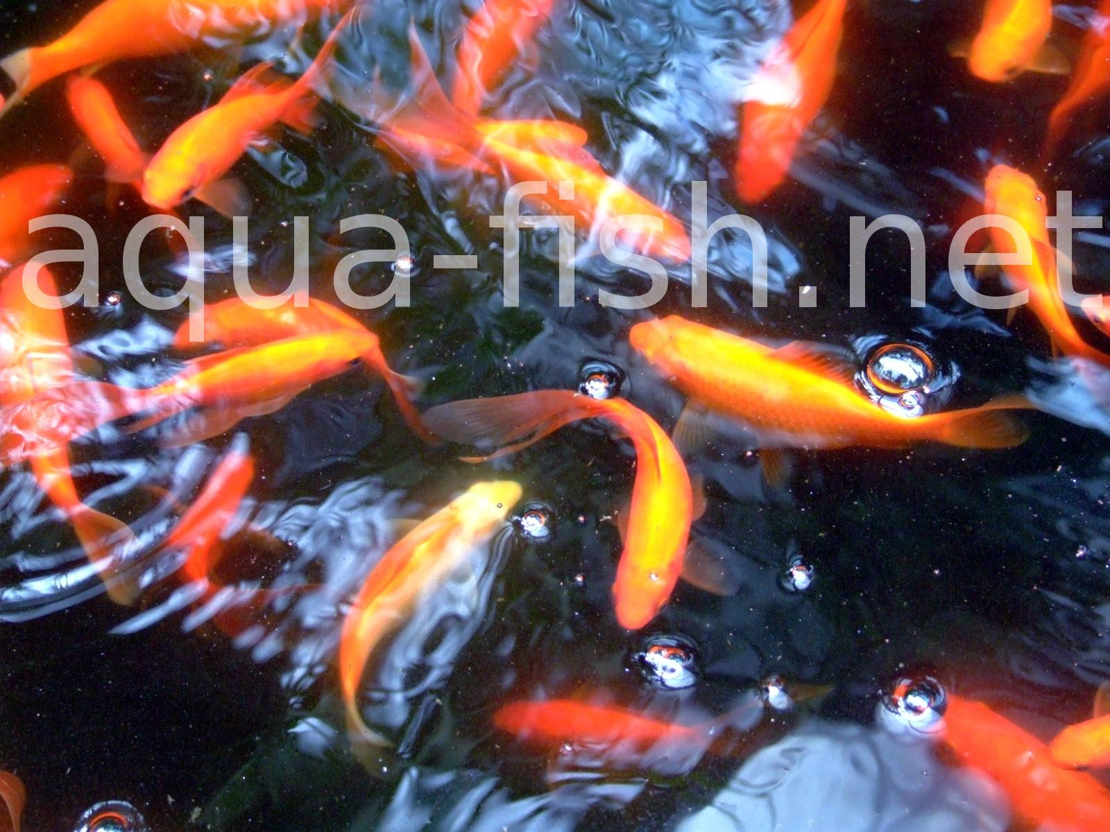 A page and forum about caring for goldfish in aquariums for What fish can live with goldfish in a pond