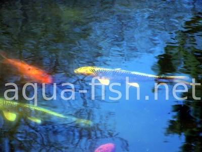 Koi fish, picture 3