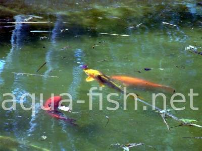 Koi fish, picture 4