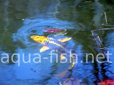 Koi fish, picture 5