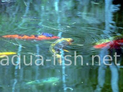 Koi fish, picture 7