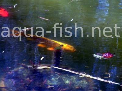 Koi fish, picture 8