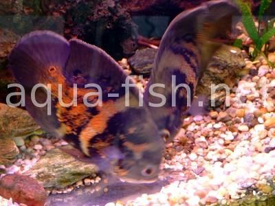 Oscar Fish A Guide On Raising And Breeding