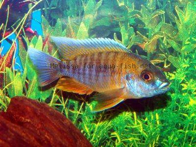 Peacock cichlid, picture 2