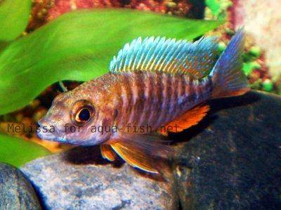 Peacock cichlid, picture 3