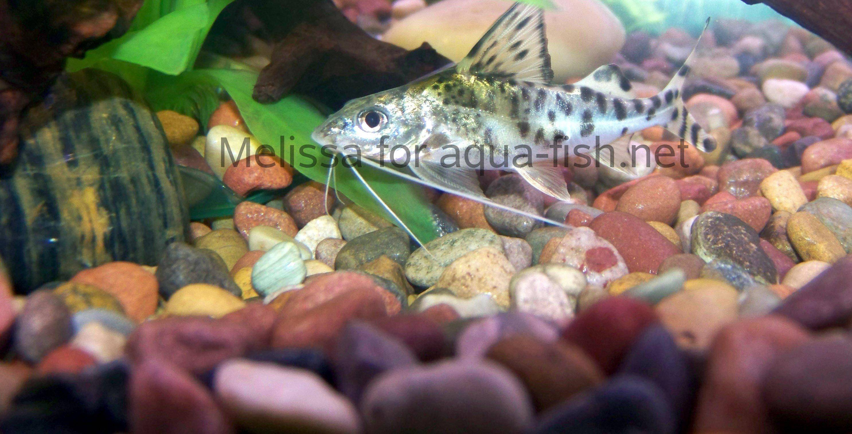Caring for the pictus catfish with tips on breeding and forums for Fish breeding net