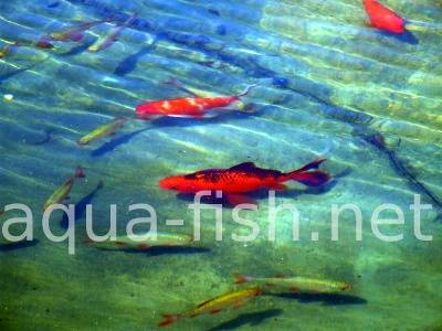 Pond fish, picture 5