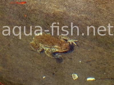 Pond frog, picture 2