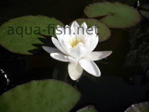 Water lily, picture 1