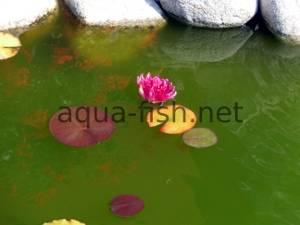 Water lily, picture 2