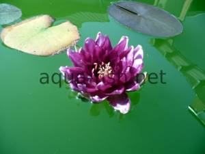Water lily, picture 3