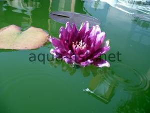 Water lily, picture 4