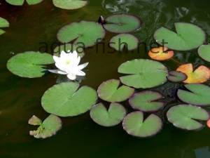 Water lily, picture 5