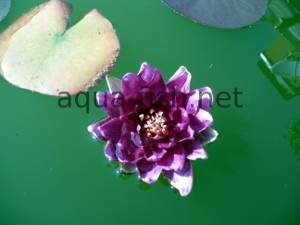 Water lily, picture 6
