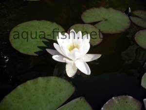 Water lily, picture 7