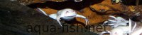 African clawed frogs, resized image 1