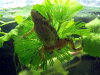 Resized image of African dwarf frog, 2