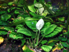 Anubias nana, resized small image