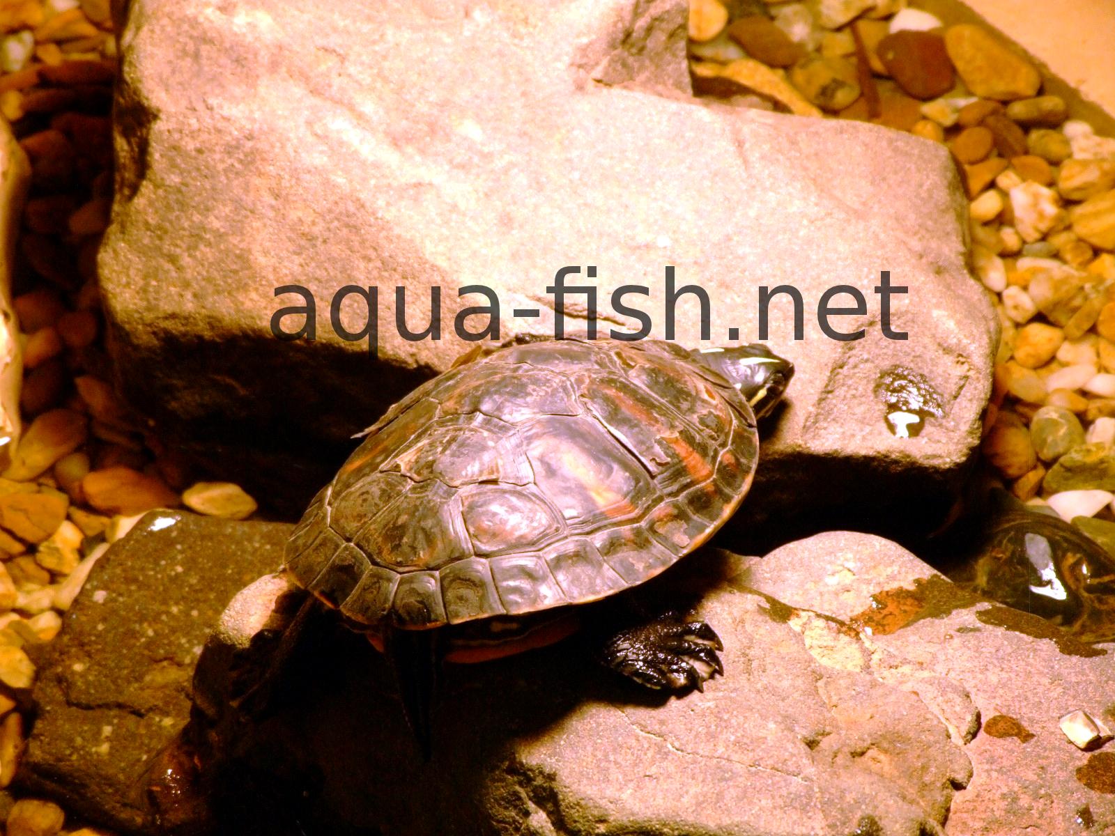 Fish Tank Turtles : Turtle Aquariums - Setting up and Feeding Turtles