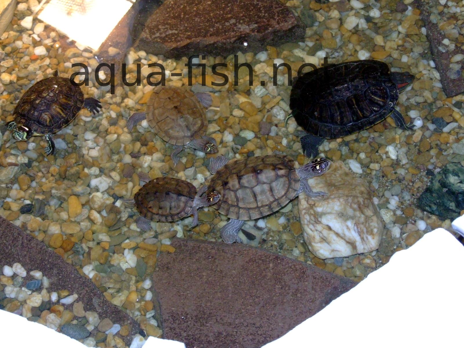 Aquarium Turtles Species : Turtle Aquariums - Setting up and Feeding Turtles