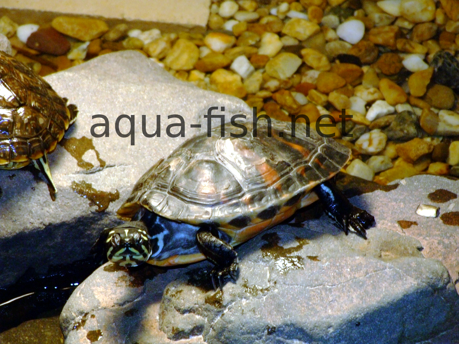 How to setup a turtle aquarium with forum for Turtle fish tank