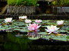 Resized image of fish pond, 2