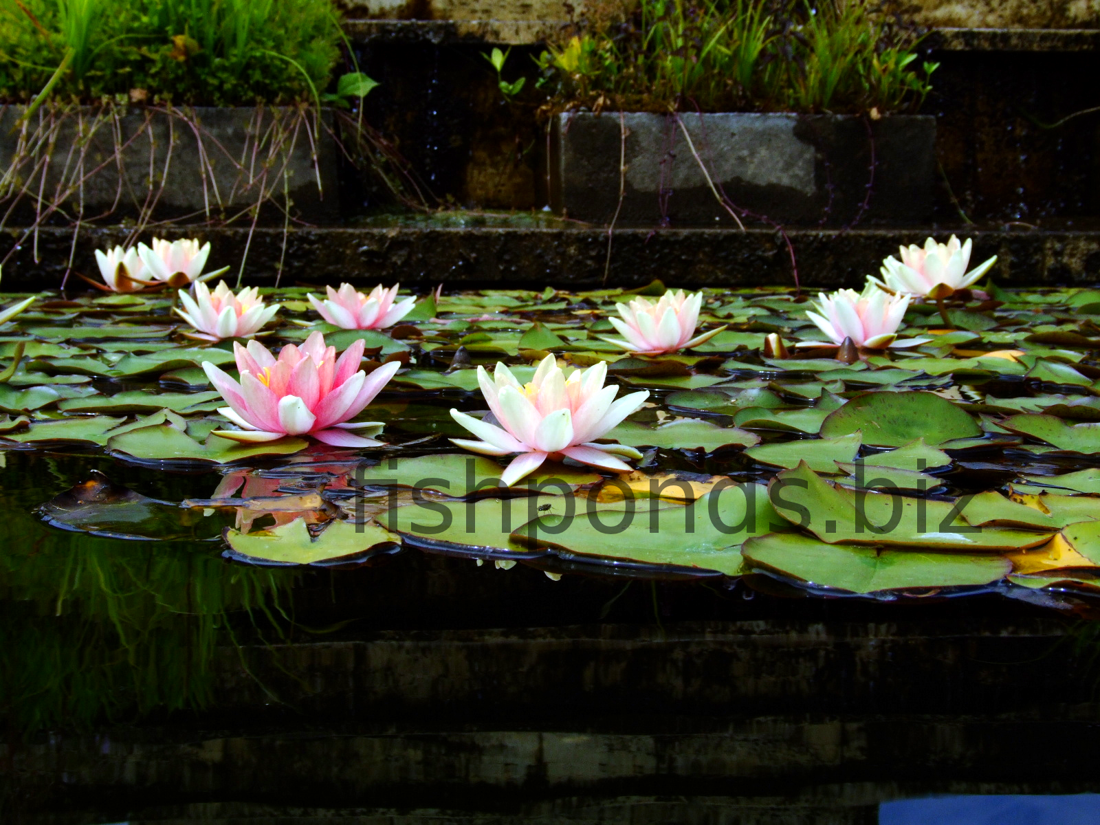 How to build a fish pond for How to build a koi pond step by step