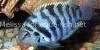 Resized image of Convict cichlid, 3