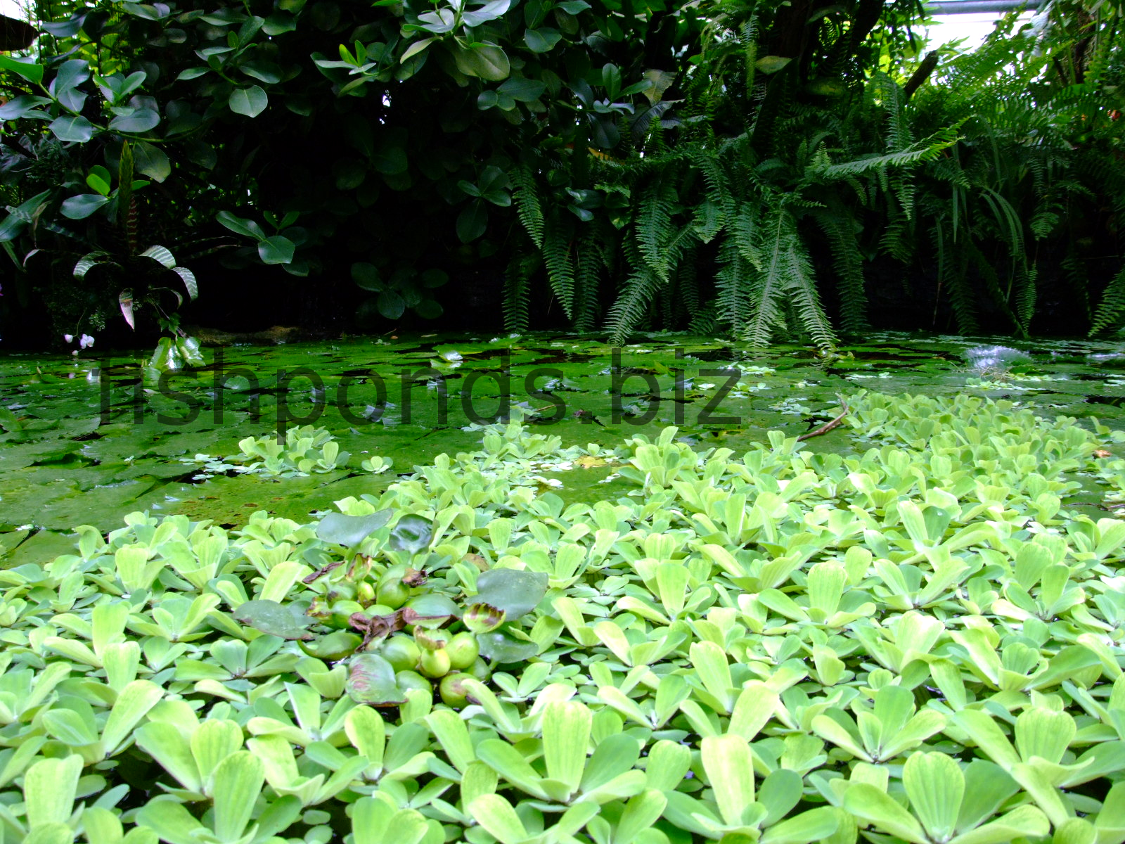 Types of fish pond plants with the most common species for Fish pond plants
