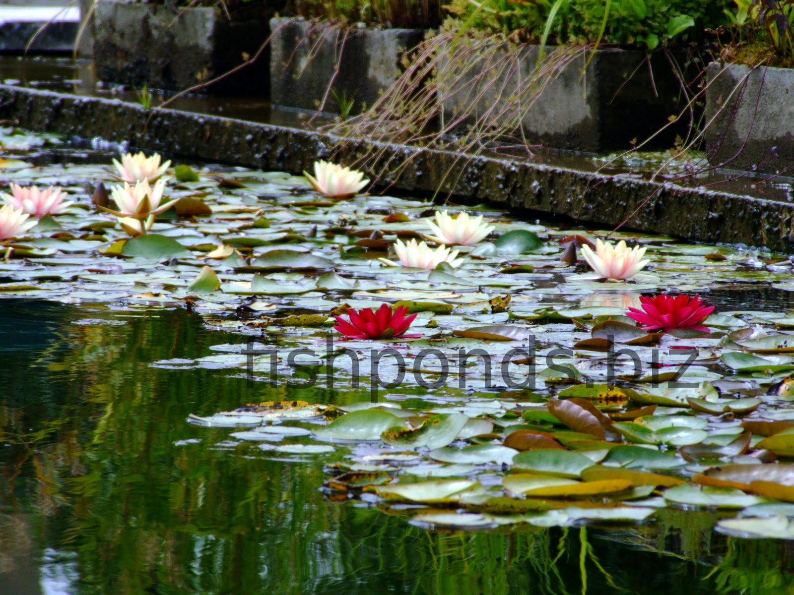Types of fish pond plants with the most common species for Pond fish varieties