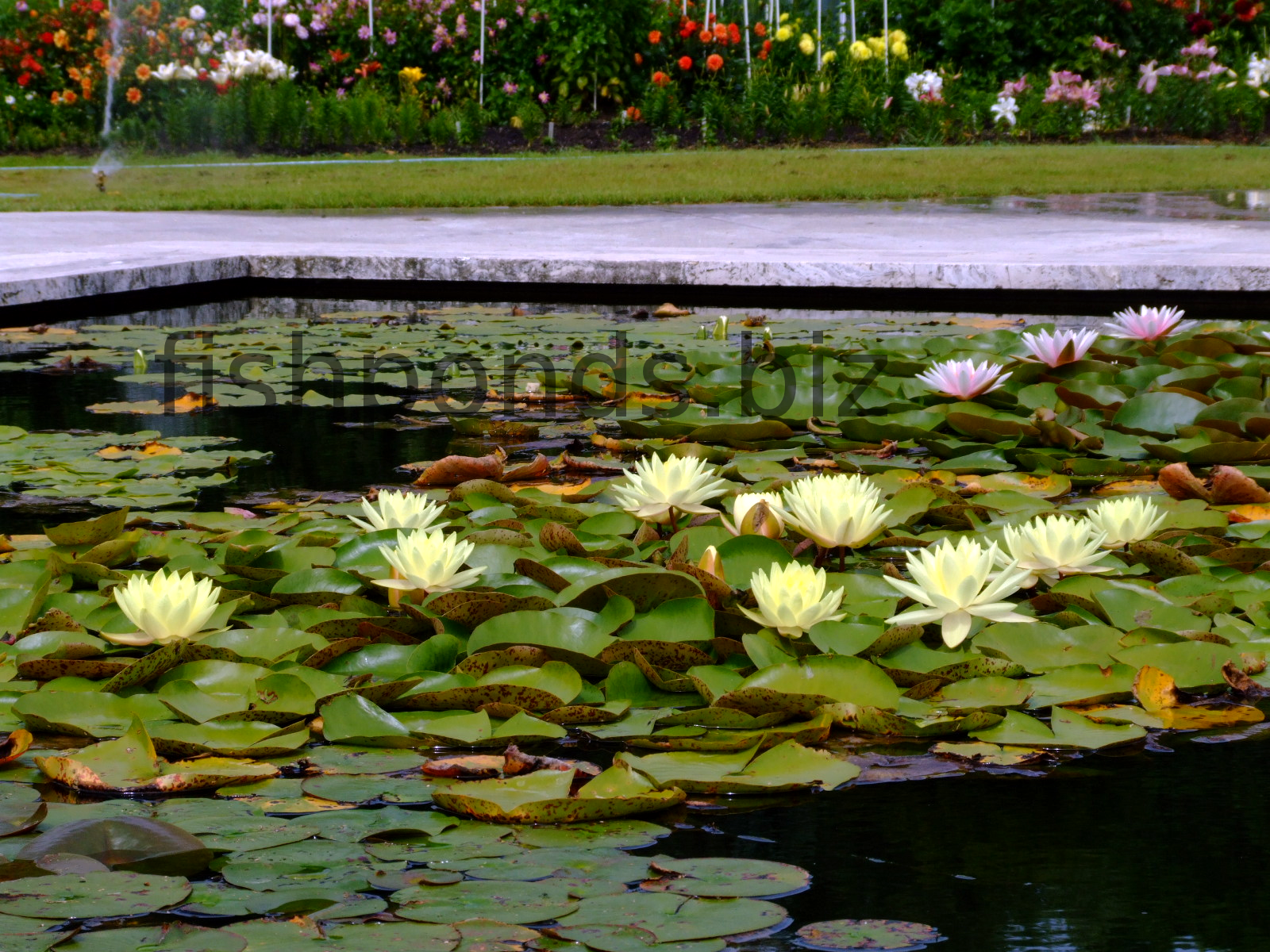 Types of fish pond plants with the most common species for Pond with plants