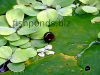 Resized image of ramshorn snail, 2