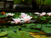 Water lilies, resized image 2