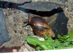 Achatina fulica - East African land snail, resized image