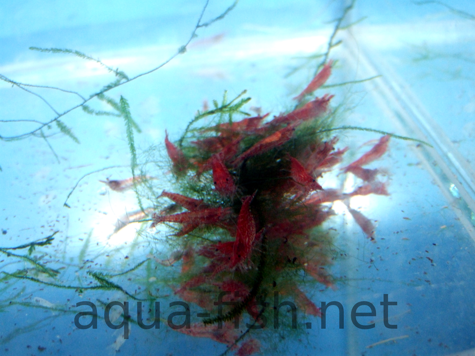 How to care for Amano Shrimp with pictures and discussion