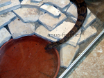 Boa Constrictor, resized image 1