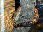 Boa Constrictor, resized image 2