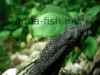 Bristlenose catfish, resized image 1, added on Nov 13 2011