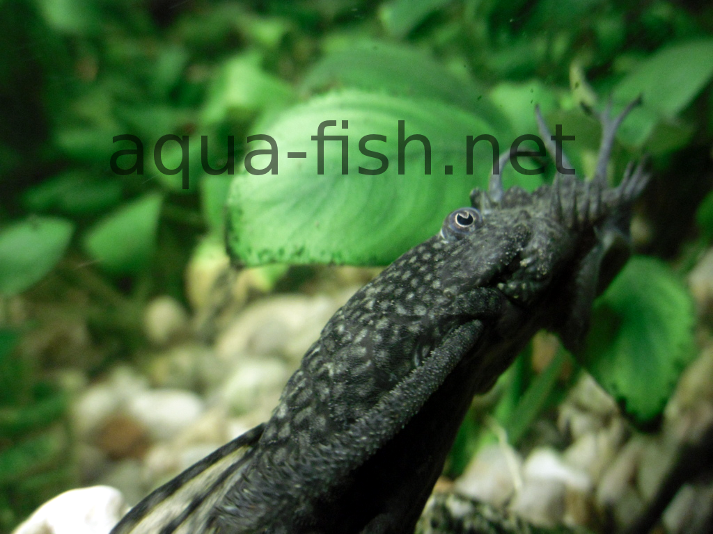 forum and expert information on caring for bristlenose catfish