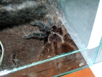 Resized image of Cyclosternum fasciatum - Costa Rican Tiger Rump Tarantula, 1