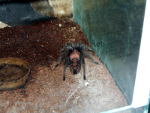 Resized image of Cyclosternum fasciatum - Costa Rican Tiger Rump Tarantula, 2