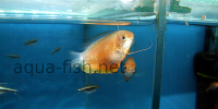 Resized image of Dwarf gourami, 2